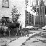 Лосиха с лосенком. Саров, пер. Северный, 1978 г.