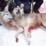 Убитые волки