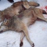 Убитые волки-2